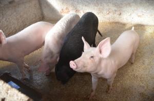 Our pig farm