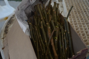 Chaya cuttings provided by Miracles in Action ready to be put in bags to root before planting in the land.